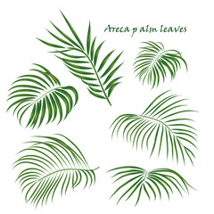 Branch tropical palm areca leaves. realistic drawing in flat color style. isolated on white background.