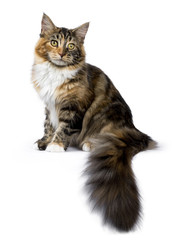 Young Maine Coon cat / kitten sitting side ways with tail hanging from edge isolated on white background