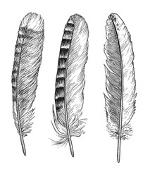 Feather illustration, drawing, engraving, ink, line art, vector