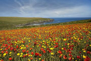 Poppy fileds in bloom at Porth joke north cornwll coast