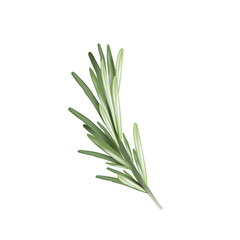 Rosemary herb spice. Vector illustration of a rosemary