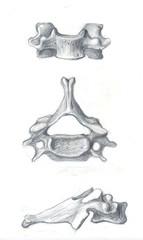 the fourth cervical vertebra