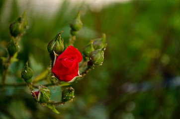 Red rose in the garden nature