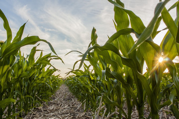 Looking down a corn row in a no-till field with a star sunburst between the leaves. Fototapete