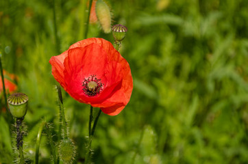 Poppy flower in the nature