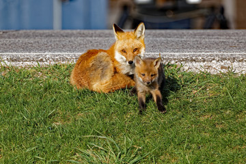 A Red Fox Vixen rests alongside her kit. Red Foxes tend to have large litters with seven or eight kits being common.