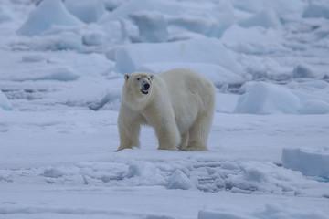 Fond de hotte en verre imprimé Ours Blanc Polar Bear (Ursus maritimus),