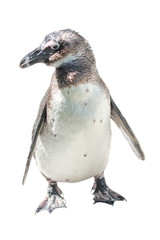 Isolated at white background funny African penguin