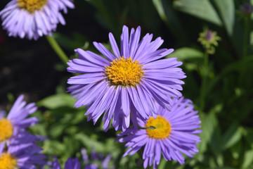 Stunning Abundance Of Purple And Yellow Aster Flowers