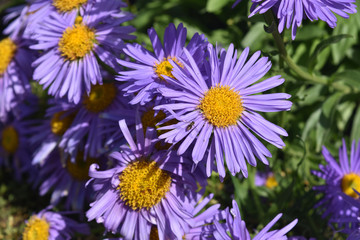 Beautiful Abundance Of Purple And Yellow Aster Flowers