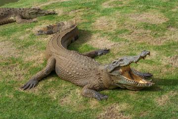 Thai freshwater crocodile