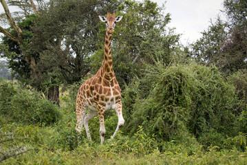 Giraffe among the trees in Lake Nakuru National Park