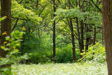 Forest glade, wild flowers, tall trees. Aegopódium podagrária
