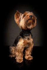 Terrier on the black background. A small dog.
