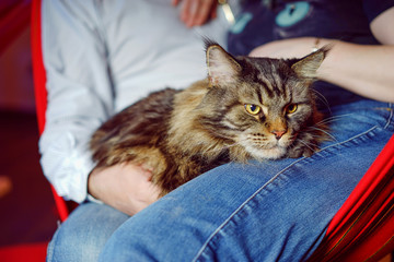 Cat lying on the lap of the people. Maine Coon cat breed. Purebred cat.