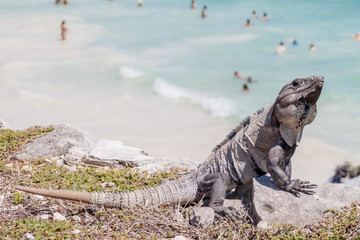 Black Iguana at the ruins of the ancient Maya city Tulum, Mexico. People at the beach in the background, out of focus.