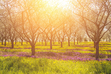 Inspirational and emotional light with warm sensation and row of apple trees with purple and yellow flowers.  Copyspace.