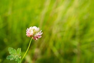 Clover Flower. Slovakia
