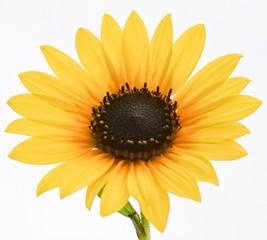 An up close view of a golden yellow Sunflower