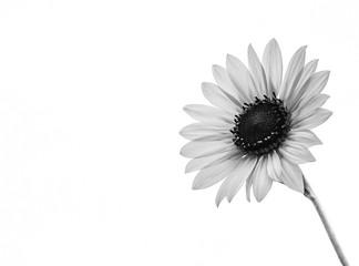 An up close view of a Sunflower
