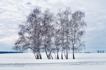 Group of birch trees in the winter