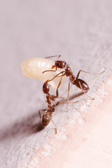 Wood ants, Formica, carrying their eggs to anew home, this ant is often a pest in houses, in a white background