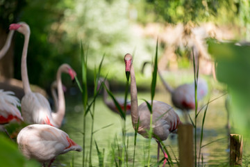 Pink flamingos on the lake water with blurry vegetation on the background