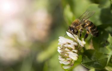 Spoed Fotobehang Bee bee gathering pollen on the flower