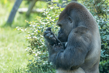 Male silver back gorilla sits and stares his own hand with green bushes and leaves on the background