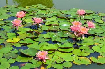 Pink flower Lotus blooming in the pond.