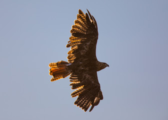 Golden eagle against the last light of the day, seen in the wild in  North California