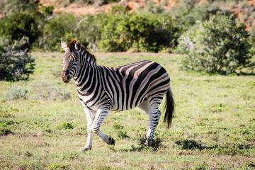 Wall Murals Zebra Zebra looking left in South Africa