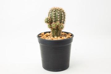 Mammillaria cactus isolated on white background