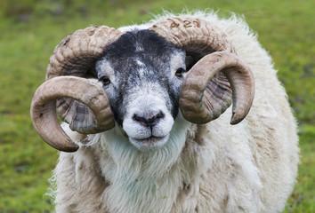 Sheep Ram Horn