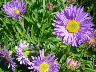 Lilac asters background