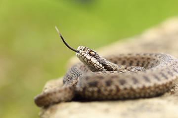 aggressive hungarian meadow viper
