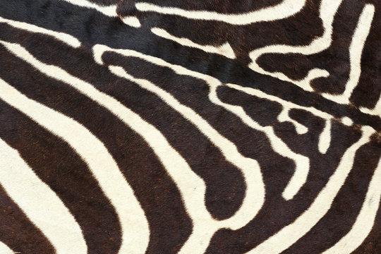 texture of wild zebra natural pelt