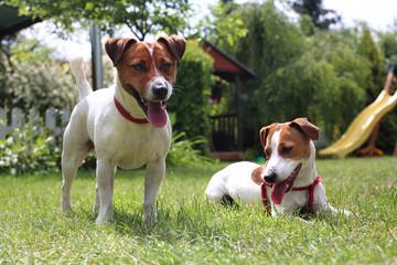Wakacje z psem. Pies i suczka rasy terrier wypoczywają na trawie