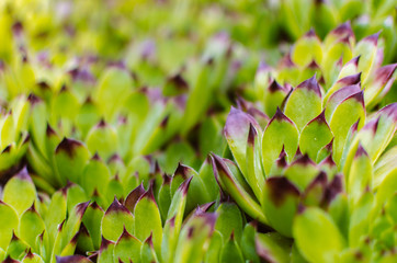 Sempervivum plant