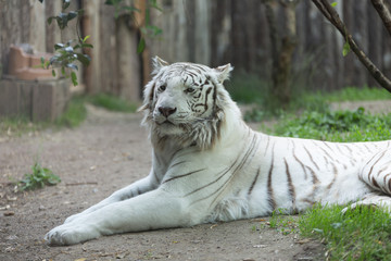 White tiger or bleached Bengal tiger laid on the ground floor staring deeply