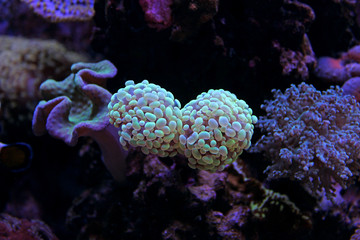 Euphyllia LPS Coral