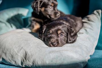 Tiny poppy dogs