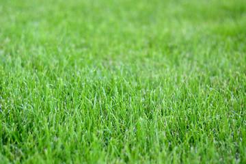 Sunday fresh spring green grass background.