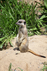 A meerkat sitting on a rock keeping an alert guard