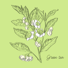 Vector drawn green tea with flowers in a sketch style. Exotic collection.