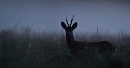 Roe deer at night. Roebuck at night. Animal in the mist.