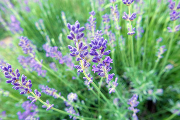 Lavender Plant and Flowers