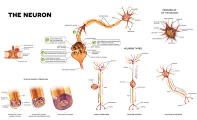 Neuron detailed anatomy illustrations. Neuron types, myelin sheath formation, organelles of the neuron body and synapse.