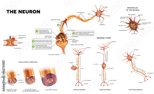 Neuron detailed anatomy illustrations neuron types myelin sheath neuron detailed anatomy illustrations neuron types myelin sheath formation organelles of the neuron ccuart Gallery