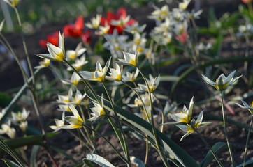 Белый многоцветковый тюльпан дваждыпоникающий Tulipa binutans из Киргизии